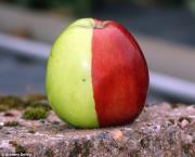 The Two in One Apple – Literally!