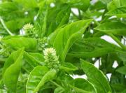 health benefits of basil - from root to leaf