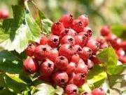 Side effects of hawthorn berry requires immediate medical attention.