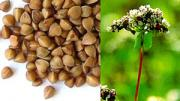 Benefits of buckwheat