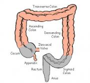 Picture describing colon