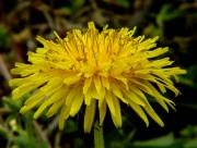 Healthg benefits of Dandelion