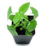 Catnip leaves have many health benefits.