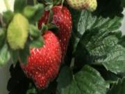 Local Flavor Berry Stacks Farm