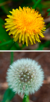 Dandelion for Skin