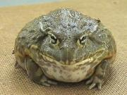 Asians gorge on bullfrogs
