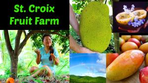 Tasting Tropical Fruits St Croix Tropical Fruit Farm 1017894 By Thesquishymonster
