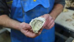 Mysterious Killer Forces Oysters Prices To Skyrocket
