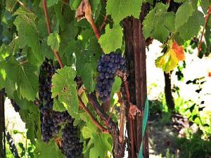 Sonoma County 2012 Wine Harvest Wine