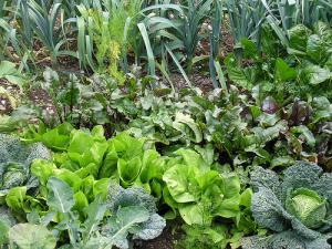 Backyard organic garden is way of healthy living