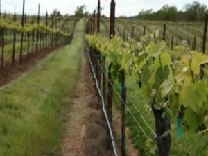 2011 Growing Grape Season: Cool Spring, Flowering and Harvest Predictions