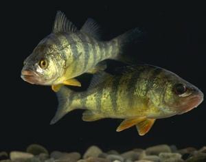 Fish eater! Beware!