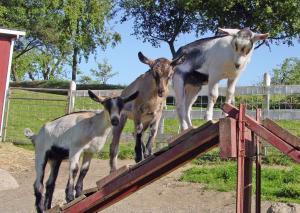 Celebrate Goat Festival 2011