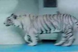 White Tiger in Vegas