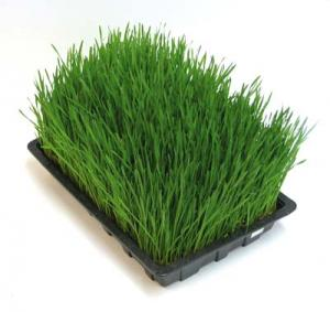Is Wheatgrass Always Beneficial