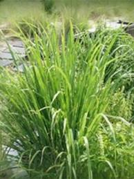 The health benefits of lemongrass are plenty