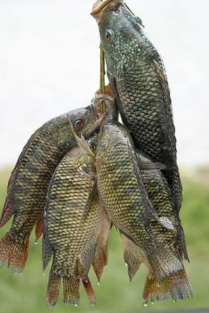 identifying fish allergies