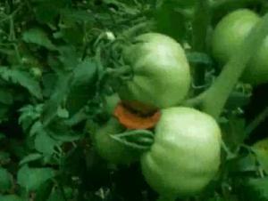 Ideas On Tomato Blight