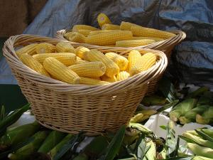 Removing sweet corn from these cobs can be an easy task if you know how to do it right!