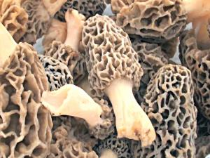 Morel Mushrooms - Tips & Info