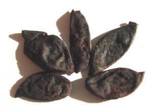 Kokum (Garcinia Indica)
