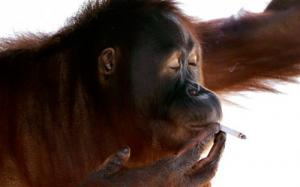 Meet Miss Tori - The Orangutan Who Loves to Smoke