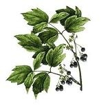 What Are The Health Benefits Of Blue Cohosh ?