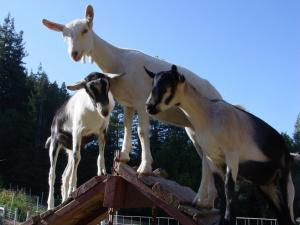 These goats look lovely