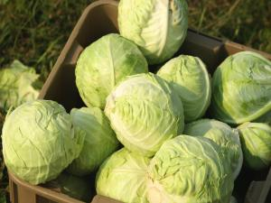 Seasons - Cabbage