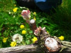 Budbreak Is Here In Carneros