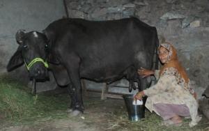 Bufallo milk is loaded with nutrients