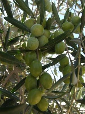 Olives for skin care