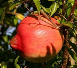 Peeling Pomegranate is easy