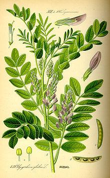 Use licorice root for adrenal fatigue