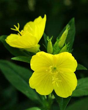 Use of Evening primrose oil