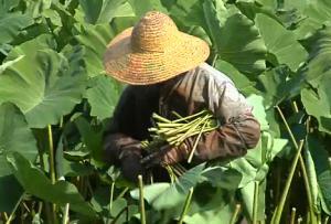 Wong'Staro Leaf Farm Review