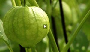 Nutrition: Tomatillo