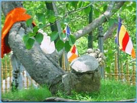 historical tree in the world.- sri lanka