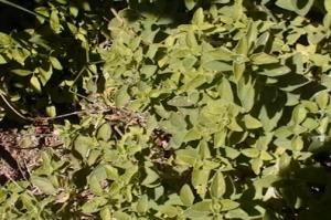 Sun Dried Italian Herbs