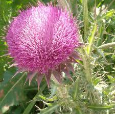 Milk thistle - herbal remedy for fibroids