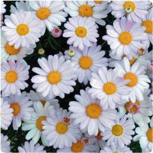 Chamomile is an effective herb in curing insomnia