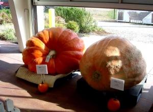 Pumpkins to make wine