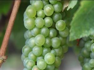Spring Budbreak in the Vineyards at Jordan Winery