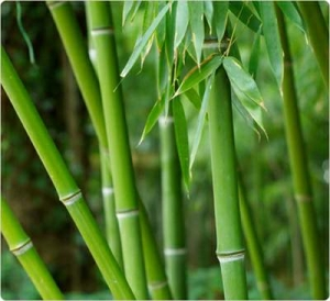 bamboo extract for skin beauty
