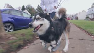 Dog Runs For The First Time Thanks To 3 D Printed Legs