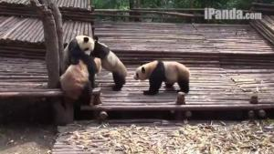 Brawling Pandas Are Violently Adorable