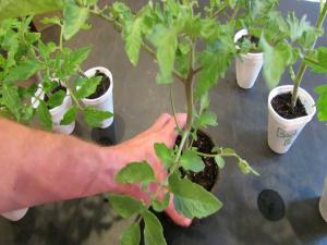 How To Create Double Stem Tomatoes