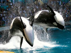 Blackfish Kills Off Seaworld