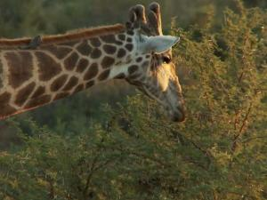 Ricky Gervais Sends Social Media After A Giraffe Hunter