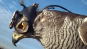 Researchers Put Tiny Helmets On A Hawk To Figure Out How It Targets Prey